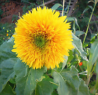 Helianthus 'Goldy' sunflower  double extra petals