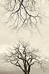 Dead wych elms, killed by Dutch elm disease summer 2007, Scotland