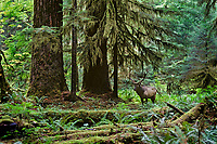 Roosevelt Elk bull in old growth forest.  Olympic National Park Rain Forest, WA.  Fall.