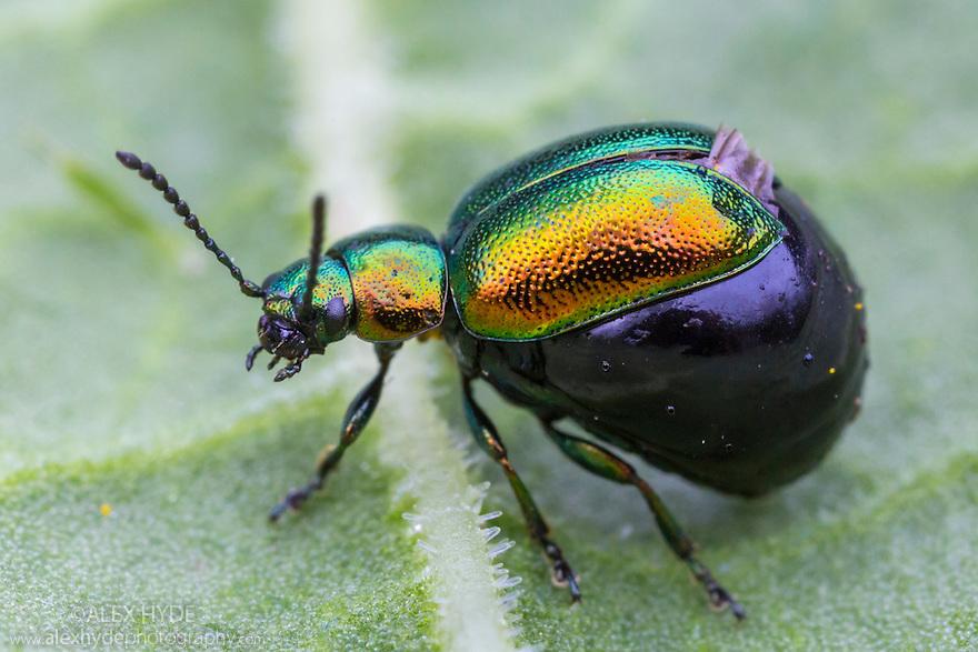 Green Dock Beetle (Gastrophysa viridula) female with huge abdomen swollen with eggs. District National Park, Derbyshire, UK. May.