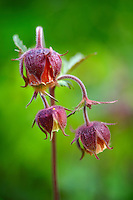 alpine water avens ( geum rivale ) . Grindelwald bort , bernese alps . switzerland europe