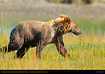 Alaskan Coastal Brown Bear Cub, Silver Salmon Creek, Lake Clark National Park, Alaska