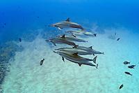 Hawaiian spinner dolphins (Stenella longirostris), Honomalino Bay, Miloli'i, Big Island.