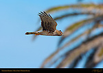 Northern Harrier, Bolsa Chica Wildlife Refuge, Southern California