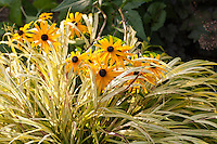 Black-eyed Susans growing through Gold-Striped Hakone Grass