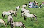 Foto: VidiPhoto<br /> <br /> ARNHEM - Best eng, zo'n wild konikspaard in de klas. Leerlingen van het Stedelijk Gymnasium Arnhem kregen maandag praktijkles biologie in uiterwaardpark Meinerswijk bij Arnhem. Opdracht was het observeren van het eet- en poepgedrag van de wilde konikspaarden en gallowayrunderen in het natuurgebied. Maar een wild paard dat tijdens de les nieuwsgierig dichtbij komt, geeft wel even een angstig moment, natuurlijk.