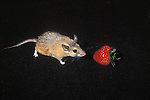 Pet mouse feeding on strawberry