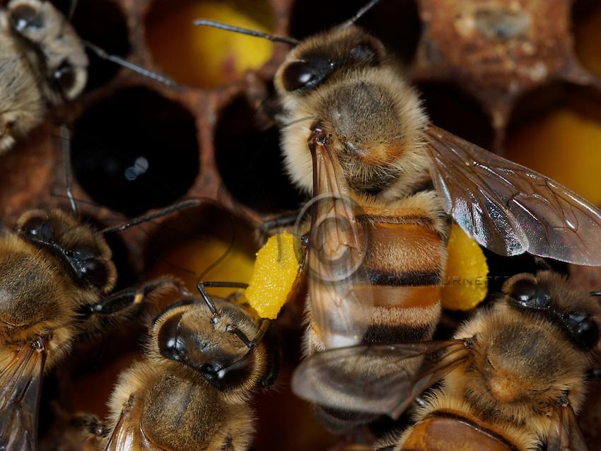 honeybee with pollen ball on comb full of pollen cells.