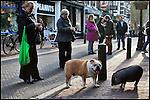 Nederland, Utrecht, 12-03-2011 Bulldog en Gottinger minivarken op zaterdag middag in de Zadelstraat tussen het winkelend publiek dat het tafereeltje met  met hun smartphones fotografeerd. FOTO: Gerard Til .