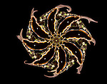 Marine Art showing a flatworm from Fiji in the shape of a pinwheel