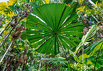 A beautiful Fan Palm from the rainforests of Queensland, Australia