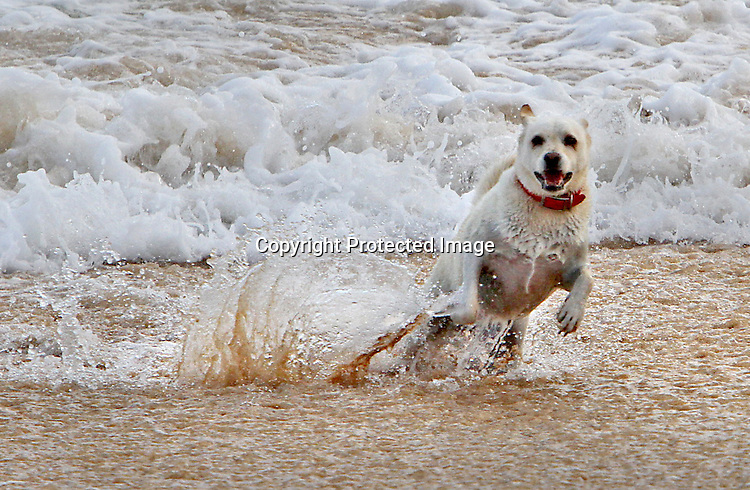 A energetic K9 finds the high surf at Sandys Beach a great spot to run from.