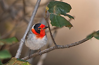 592307004 a wild male red-faced warbler cardellina rubrifrons perches on a small plant stem on mount lemmon near tucson arizona united states