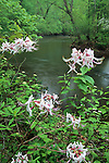 Rhododendrons along the Eno River, Eno River State Park, North Carolina