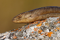 European Glass Lizard portrait, Bagerova Steppe, Kerch Peninsula, Crimea, Ukraine