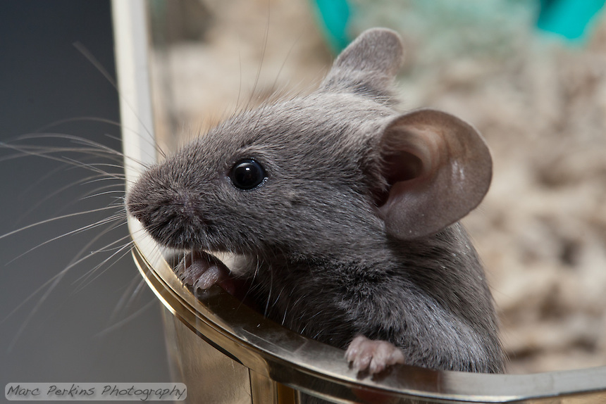 A gray male pet mouse jumps up on the side of a clear plastic cage and holds himself up by his front paws, peering over the edge into the vast unknown beyond the cage.  I love the cute little paws holding onto the edge.  I also like how the whiskers are fully three-dimensional: you can see how they extend around the face in all directions - front, back, top, bottom, and sides.