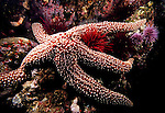 Santa Cruz Island, Channel Islands National Park and National Marine Sanctuary, California; a Giant Sea Star (Pisaster giganteus) on the rocky reef is surrounded by Purple Sea Urchins (Strongylocentrotus purpuratus), Red Sea Urchins (Strongylocentrotus franciscanus) and Club-tipped Anemones , Copyright © Matthew Meier, matthewmeierphoto.com All Rights Reserved