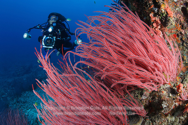 qe0369-D. scuba diver (model released) with underwater camera prepares to photograph Sea Whip Corals (Ellisella sp.). Fiji, tropical Pacific Ocean..Photo Copyright © Brandon Cole. All rights reserved worldwide.  www.brandoncole.com..This photo is NOT free. It is NOT in the public domain. This photo is a Copyrighted Work, registered with the US Copyright Office. .Rights to reproduction of photograph granted only upon payment in full of agreed upon licensing fee. Any use of this photo prior to such payment is an infringement of copyright and punishable by fines up to  $150,000 USD...Brandon Cole.MARINE PHOTOGRAPHY.http://www.brandoncole.com.email: brandoncole@msn.com.4917 N. Boeing Rd..Spokane Valley, WA  99206  USA.tel: 509-535-3489