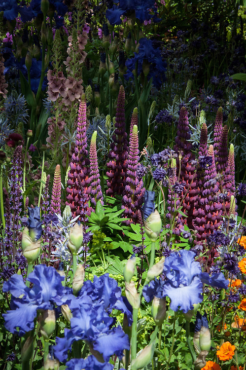 Blue Iris 'Mer du Sud' and maroon Lupinus 'Masterpiece', together with orange Geum 'Princess Juliana', Verbascum 'Merlin' and Camassias. Morgan Stanley Healthy Cities Garden designed by Chris Beardshaw, RHS Chelsea Flower Show 2015.