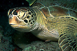 Green Turtle, Chelonia mydas, Sipadan Island, resting on coral wall, Celebes Sea, Sabah Borneo.Malaysia....