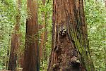 Coast redwoods, Sequoia sempervirens, in Big Hendy Grove, Hendy Woods State Park, California