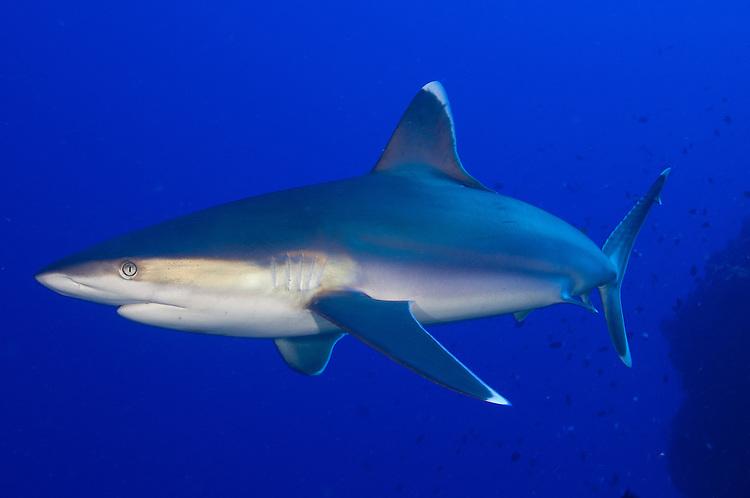 Silvertip Shark (Carcharhinus albimarginatus), Fathers reefs, Kimbe Bay