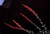 Spikey red penstemons splash color across a shadowy ravine in Arizona's Aravaipa Canyon, a BLM wilderness area where human access is limited to protect the fragile native flora and fauna of a rare desert riparian area.