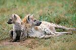 Spotted hyena, Botswana