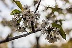 Backlit white cherry blooms are seen against a blurred background in this shallow-focused image.