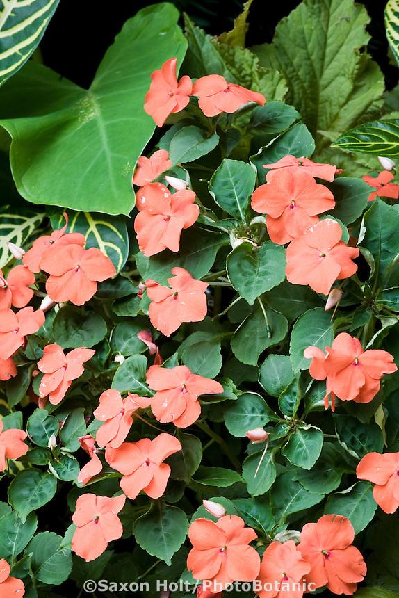 Orange flower impatiens in shade garden
