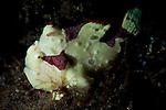 painted frogfish: Antennarius pictus, cream phase, Bunaken National Park, Indonesia