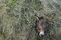 Donkey with hay-load. Lake Prespa National Park, Albania June 2009