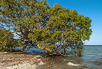Mangrove Trees on the lake shore of Mida Creek, Kenya
