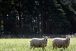 Two sheep in a field looking to camera