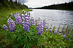 Arctic lupine growing beside a lake in the Taku region of northwestern Canada.