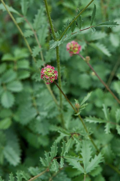 Salad burnet (Sanguisorba minor), mid June. Sometimes also known as garden or small burnet.