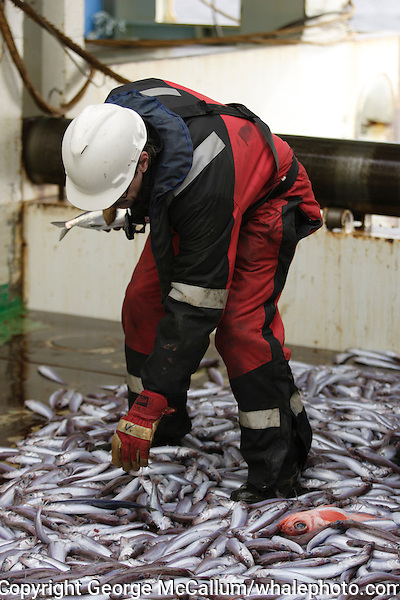 Deckhand picking herring out from catch of blue whiting Micromesistius poutassou or Gadus poutassou on trawler deck. Barents sea, Arctic Norway