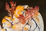 Aeolid nudibranch (Flabellina rubrolineata) laying its eggs