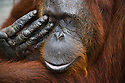 Female orangutan rubbing eye, close-up (having trouble with contact lens), (Pongo pygmaeus), endangered species due to loss of habitat, spread of oil palm plantations, Tanjung Puting National Park, Borneo, East Kalimantan,