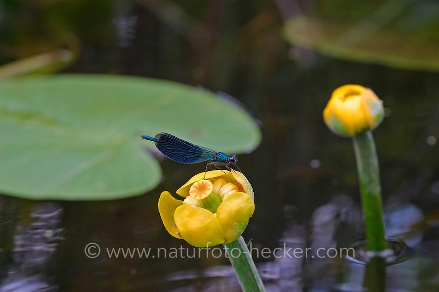 Gebänderte-Prachtlibelle, Gebänderte Prachtlibelle Männchen, Calopteryx splendens, auf der Blüte von Nuphar lutea, Gelbe Teichrose, Mummel, banded blackwings, banded agrion