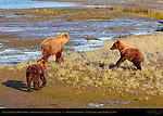 Alaskan Coastal Brown Bear, Golden Female and Cubs at Sunset, Silver Salmon Creek, Lake Clark National Park, Alaska