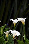 Calla Lilies in the gardens at Savegre Mountain Lodge in the Tamalanca Mountains in Costa Rica.