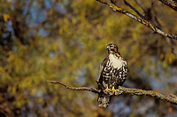 542103059 a wild red-tailed hawk buteo jamaicensis perches on a dead tree limb among fall colored yellow foliage in bosque del apache national wildlife refuge in new mexico