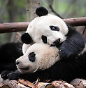 ADOLESCENT PANDAS PLAYING AT THE CHENGDU PANDA BREEDING AND RESEARCH CENTRE, SICHUAN, CHINA. 14/3/13. PICTURE BY CLARE KENDALL 07971 477316