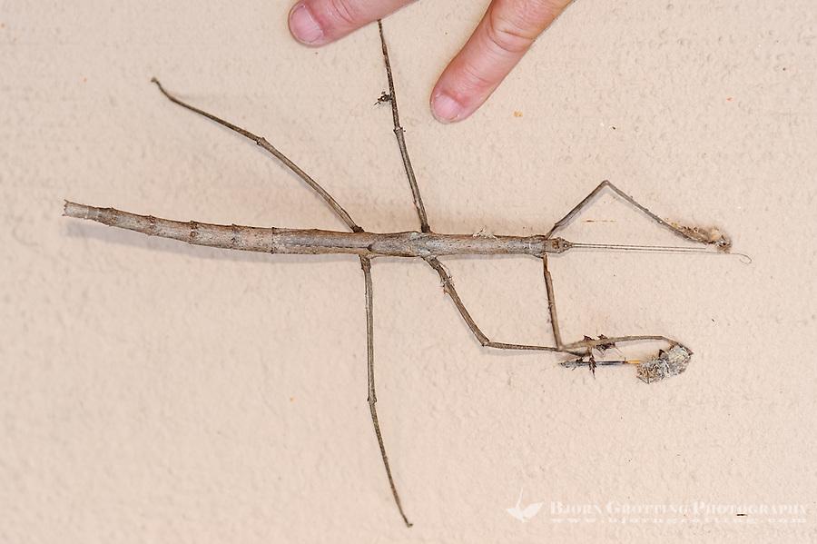 Stick insect at Pestana Kruger Lodge, Kruger National Park, South Africa.