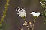 Apache plume, Fallugia paradoxa, in the rose family, tufts are the fruit and white white flower, summer Big Bend National Park, Texas.  Chihuahuan Desert.