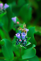 161350002v an american hover fly metasurphus americanus feeds on a diminutive oysterleaf mertnesia maritima on hesketh island alaska