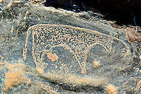 Prehistoric Saharan petroglyph rock art carvings of cattle from a site 20km east of Taouz, South Eastern Morocco