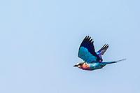 Lilac Brested Roller in flight of Sabi Sands Game Reserve, South Africa