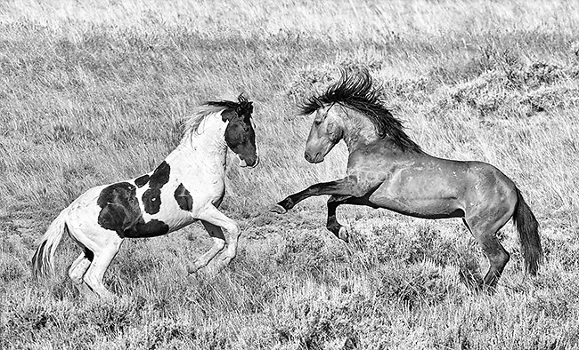 I was fortunate to spend time with a band of ninety or so wild horses in the McCullough Peaks range east of Cody.  It was my best shoot with the horses to date.<br /> <br /> This image is also available in color.